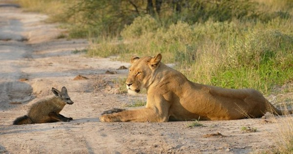 Η αλεπού που τα έβαλε με μια ολόκληρη οικογένεια λιονταριών! (Φωτογραφίες)