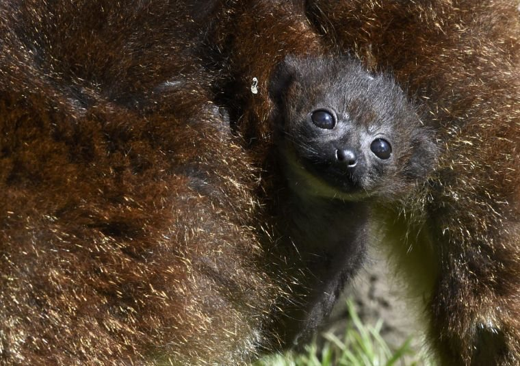 A three week old Red-Bellied Lemur hangs on to its mother at Anna Ryder Richardson's Welsh Zoo in Tenby, Wales, Britain May 15, 2015. The zoo has waited five years for a baby lemur to be born as the animals prove difficult to rear in captivity.  REUTERS/Rebecca Naden