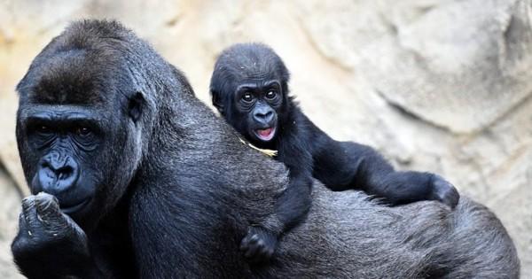 Οι πρώτες πόζες του νεογέννητου γορίλα (Εικόνες)