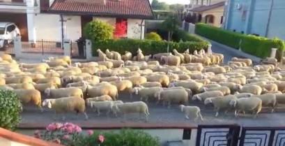 Πρόβατα στη Βενετία (Βίντεο)
