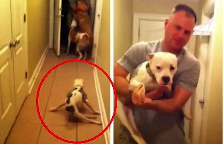 Σκύλος ανάπηρος Pitbull