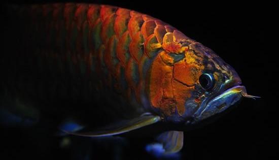 Το ψάρι δράκος που φέρνει… γούρι! (Φωτογραφίες)