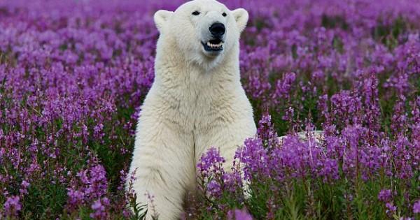 Μια πολική αρκούδα στους ανθισμένους αγρούς (Εικόνες)