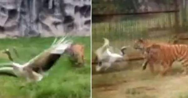 Γερανός έπεσε στο ίδιο κλουβί με δύο… τίγρεις! Μην βιαστείτε να ποντάρετε στο νικητή! (video)