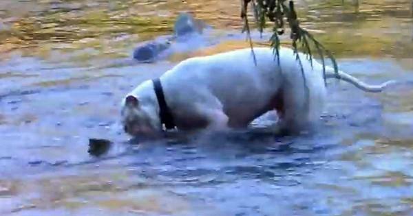 Άφησε ελεύθερα τα δυο Πίτμπουλ σκυλιά του μέσα στο ποτάμι. Τι βρήκαν; Πρέπει να το δείτε!