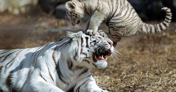 Ατελείωτο παιχνίδι για το τιγράκι και τη μαμά του (Εικόνες)