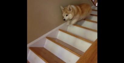Το κόργκι κατεβαίνει τις σκάλες (Βίντεο)