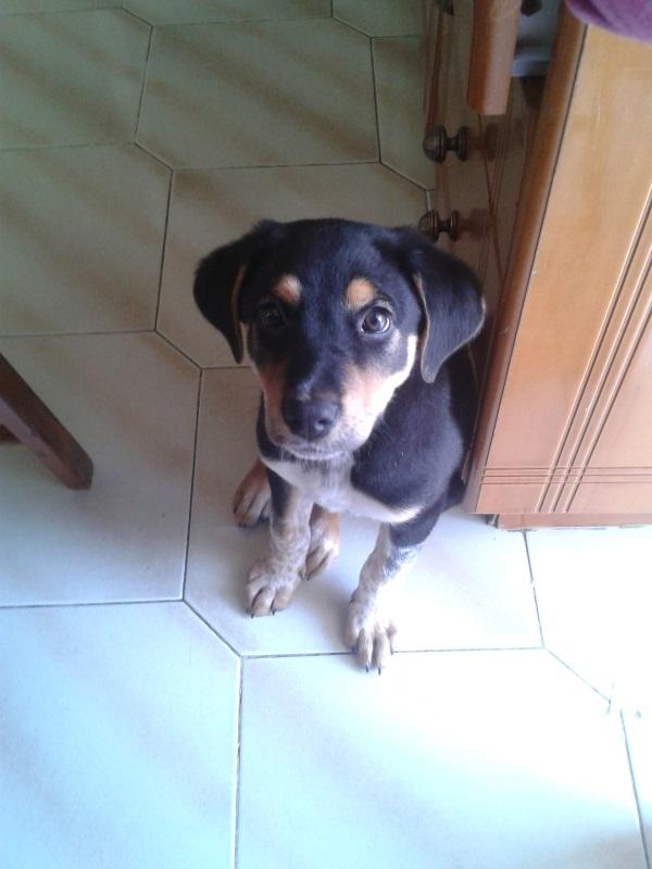 Χαρίζεται Σκύλος Νέα Ιωνία Αττικής κυνηγόσκυλο Rottweiler