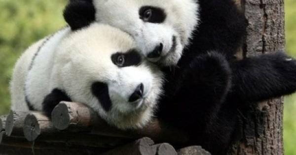 Δείτε τι κάνουν αυτά τα πάντα (pandas) όταν πρέπει να πάρουν το φάρμακό τους! (βίντεο)