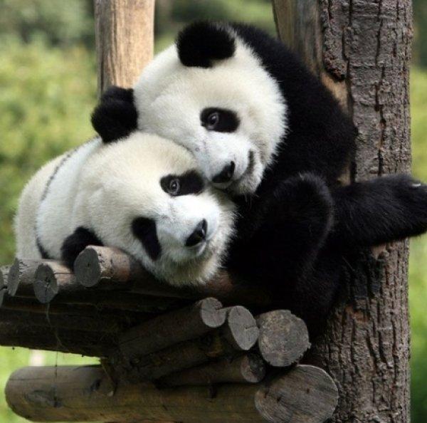 φάρμακο πάντα panda
