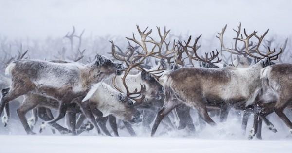 Ένας φωτογράφος κατέγραψε την ετήσια μετανάστευση χιλιάδων ταράνδων στον Καναδά