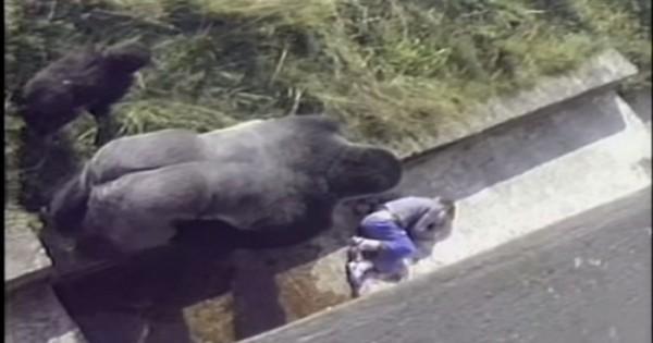 Το συγκλονιστικό βίντεο όπου ένας γορίλας προστάτεψε ένα 5χρονο αγοράκι, όταν έπεσε στον «χώρο» του από τοίχο 3,5 μέτρων