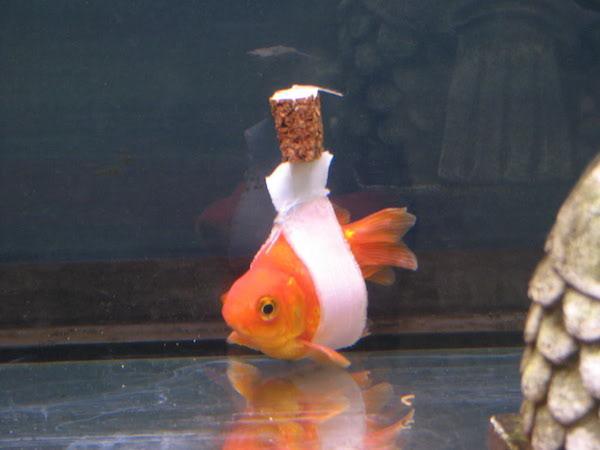 ψάρι Χρυσόψαρο φελλός