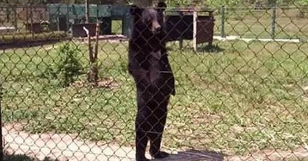 Σάλος με την αρκούδα που περπατά σαν άνθρωπος! (video)
