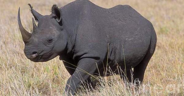 Πλήρωσε 350.000 δολάρια για να σκοτώσει απειλούμενο μαύρο ρινόκερο – Το τράβηξε και βίντεο