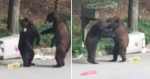 Επικό βίντεο: Αρκούδες τσακώνονται για ένα πιάτο… σκουπίδια!