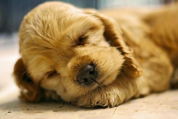 ύπνος Σκύλος όνειρα