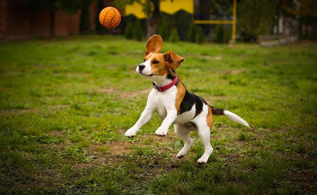 Σκύλος Μπιγκλ Beagle