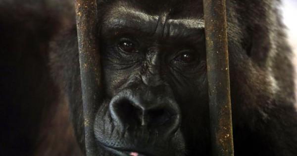 Αυτά τα ζώα βλέπουν για πρώτη φορά τον κόσμο… έξω από το κλουβί (video)