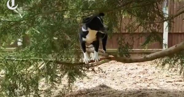 Ο σκύλος που νομίζει πως είναι γάτα… (video)