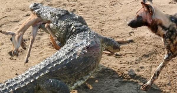 Κροκόδειλος κλέβει το γεύμα άγριων σκύλων (βιντεο)