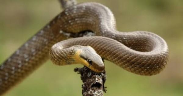 Τα φίδια της Ελλάδας – Οι αλήθειες και οι μύθοι (Εικόνες)