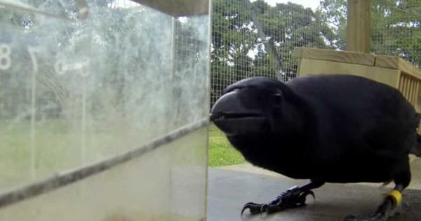 Γνωρίζατε ότι τα κοράκια είναι τόσο έξυπνα; Δείτε το πείραμα που το αποδεικνύει. (Βίντεο)