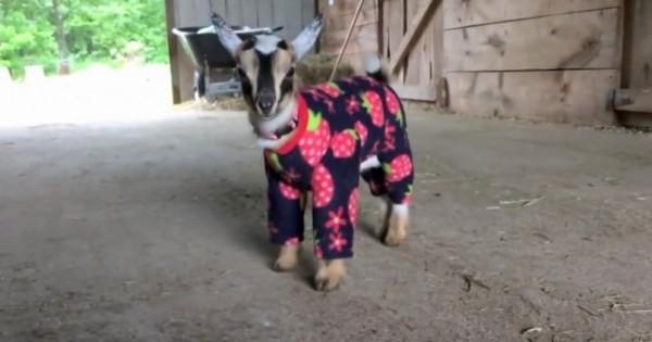 Τα κατσικάκια με τις πυτζάμες (Βίντεο)