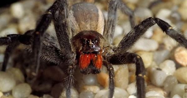 Βρετανία: Βρήκαν την πιο θανατηφόρα αράχνη του κόσμου μέσα σε μπανάνες! (pic)