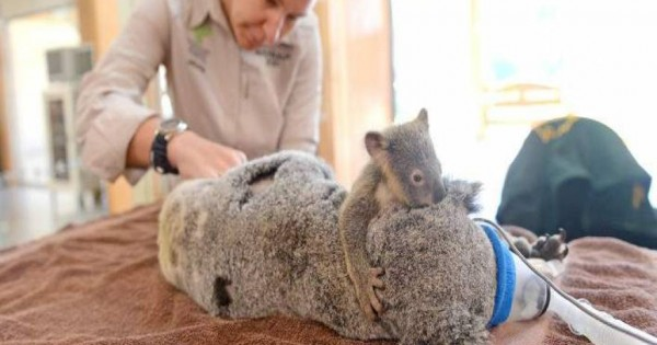 Μωρό κοάλα κρατάει τη μαμά του που κάνει εγχείρηση [εικόνες]