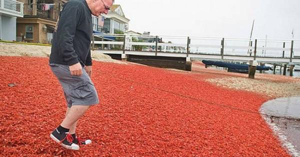 Καλιφόρνια: Παραλία κατελήφθη από εκατομμύρια κόκκινα καβούρια (video)