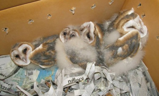 Cuteness overdose: Άστεγες μικρές κουκουβάγιες ζητούν σπίτι (Εικόνες)