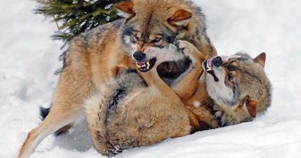 16 εντυπωσιακές φωτογραφίες από λύκους (Εικόνες)