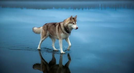 Taimyr: το αρχαίο λυκόσκυλο που έγινε ο πρώτος καλύτερος φίλος του ανθρώπου (Εικόνες