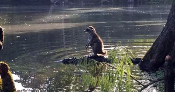 Ρακούν… βολεύτηκε πάνω σε αλιγάτορα (Εικόνες)