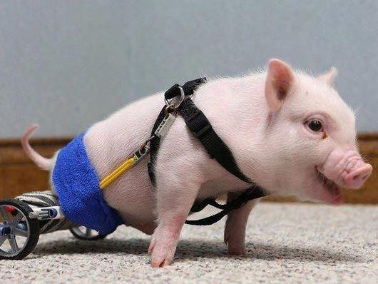 τεχνολογία ιατρική ζώα αναπηρία ανάπηρα ζώα