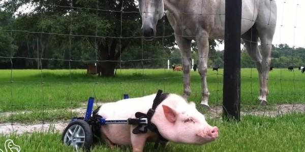 Ανάπηρα ζωάκια περπάτησαν ξανά με την βοήθεια της ιατρικής! Δείτε το συγκινητικό βίντεο…