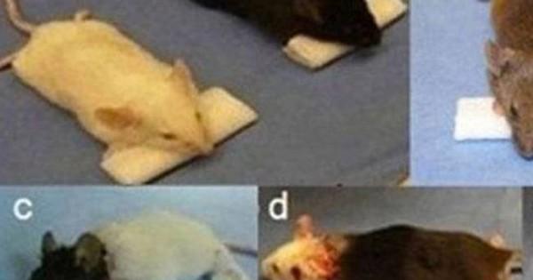 Κινέζος… Φρανκενστάιν θέλει να κάνει μεταμόσχευση κεφαλιού σε μαϊμούδες. Το έκανε ήδη σε ποντίκια!