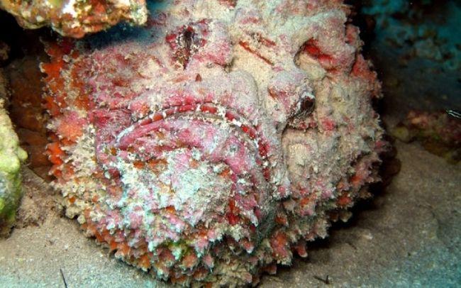 ψάρι πετρόψαρο δηλητήριο