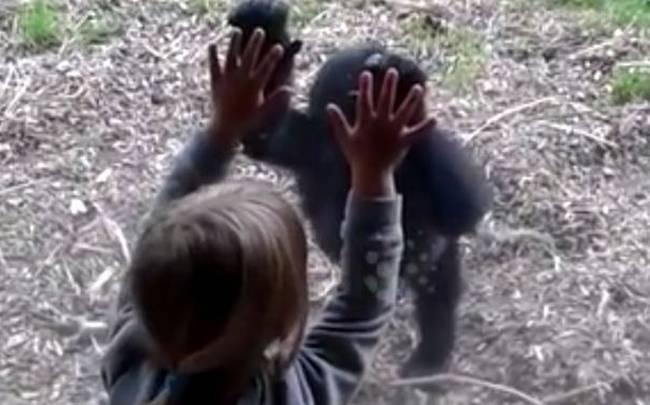 κοριτσάκι ζωολογικός κήπος γορίλας γοριλάκι