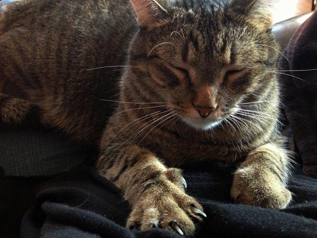 πόδια Νύχια μασάζ ζύμωμα γάτες Γάτα