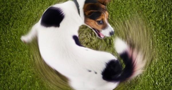 Ο σκύλος μου κυνηγάει την ουρά του – Τί σημαίνει;