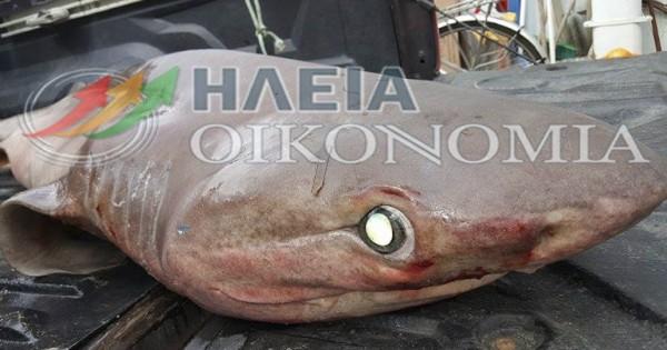 Καρχαρίας 120 κιλών πιάστηκε στο Κατάκολο! (φωτο)
