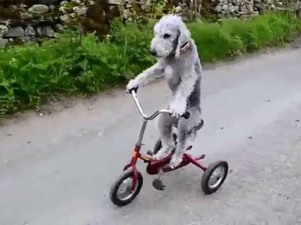 Σκύλος ποδήλατο