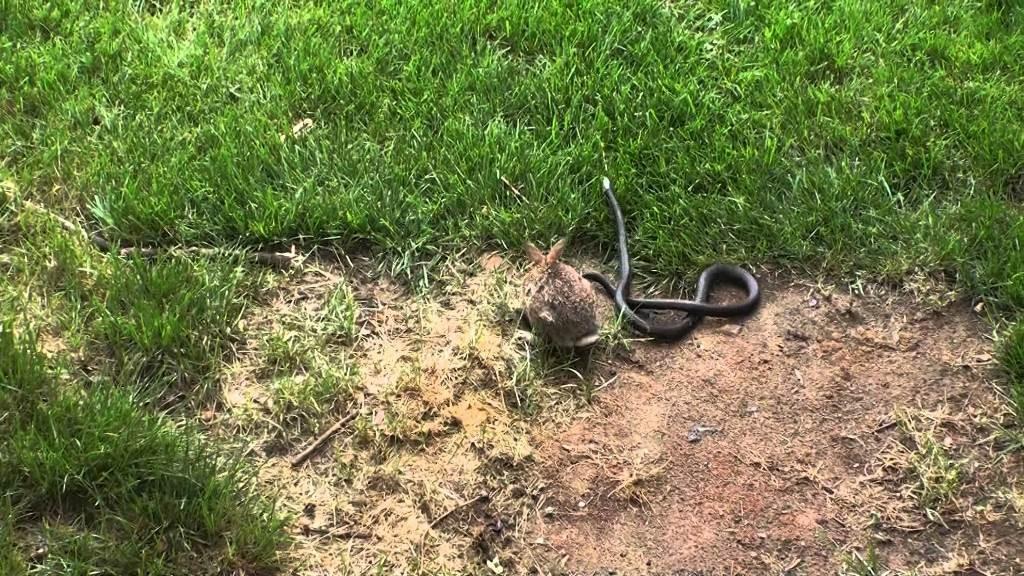 φίδι μάχη κουνέλι