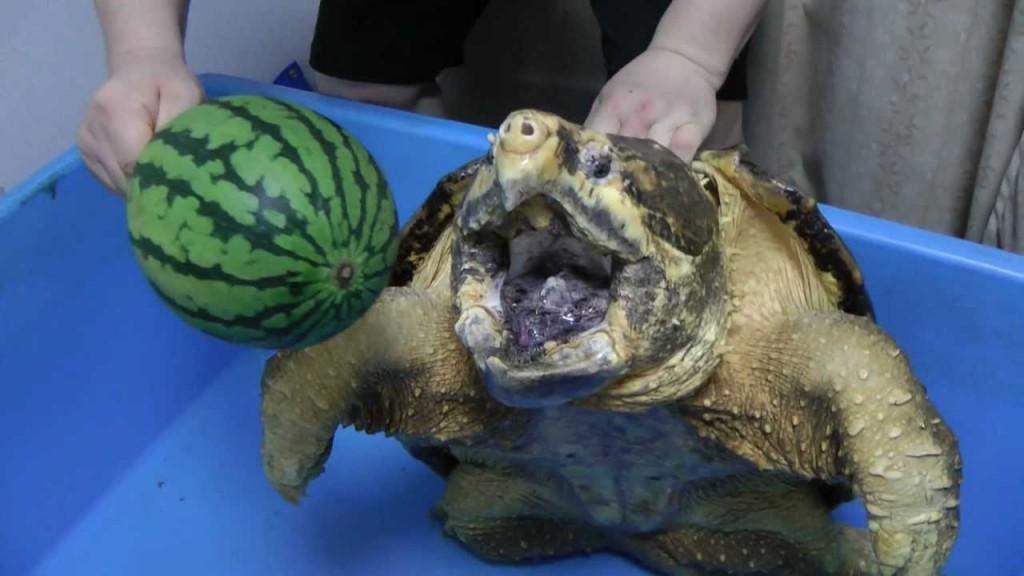 χελώνες χελώνα