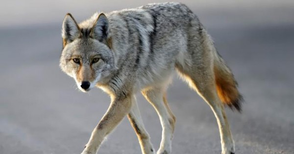 Coyote άρπαξε το σκύλο μπροστά από τα μάτια των κηδεμόνων του!