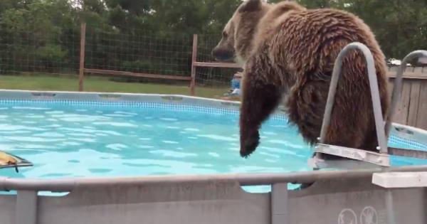 Αυτή η αρκούδα αποφάσισε να εισβάλει σε μια πισίνα και να παίξει με το νερό (Βίντεο)