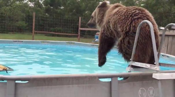 πισίνα αρκούδα