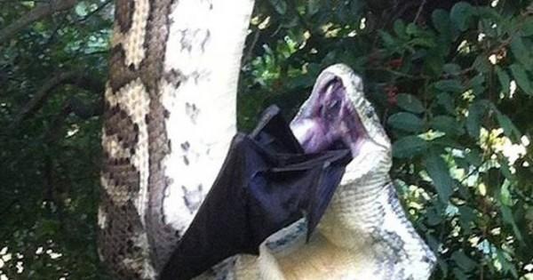 Όταν πύθωνας αποφασίζει να καταπιεί μια… νυχτερίδα! (video)
